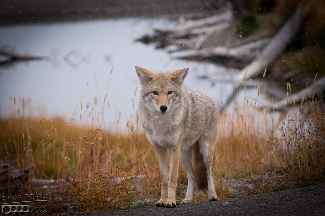 I had stopped to shoot a bird on a tree.  I do my thing, look down, and there is this coyote standing there, looking at me.